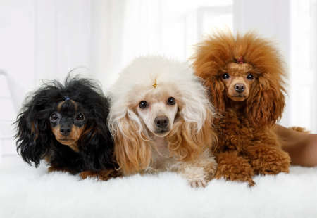Three Toy Poodle dogs of different colors lying on a fluffy rug in the living room