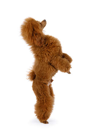 Purebred Toy Poodle dog standing up on its hind legs isolated on a white background