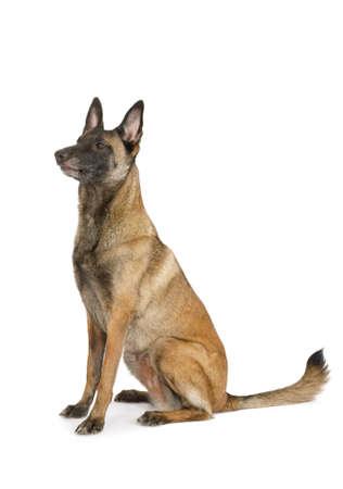 Purebred Belgian shepherd dog Malinois sitting on a white background