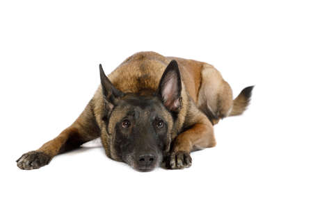 Thoroughbred Belgian shepherd dog Malinois lying on a white background