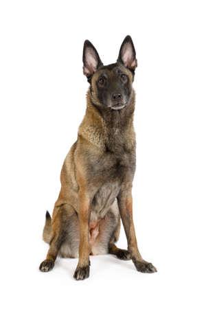 Thoroughbred Belgian shepherd dog Malinois sitting on a white background Imagens