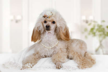 White Toy Poodle dog with the hat on his head and beads around his neck lying on the bed indoors Imagens