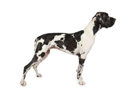 Gran danés de raza de perro manchado de pie sobre un fondo blanco.