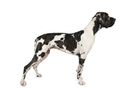 Spotted dog breed great Dane standing on a white background