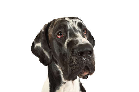 Portrait of a purebred great Dane dog on a white background