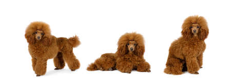 Purebred red Toy Poodle dog in studio, isolate collage on white background