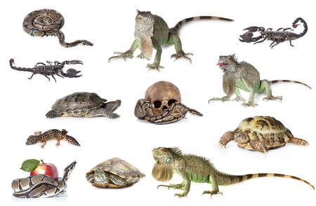 Große Sammlung von Reptilien, Haustieren und exotischen Tieren in verschiedenen Positionen isoliert auf weißem Hintergrund Standard-Bild