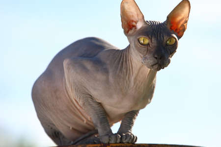 Portrait of a hairless cat of the Canadian Sphinx breed against a blue sky