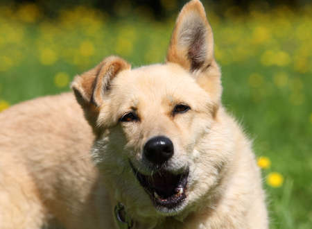 Portrait of funny ginger mongrel dog with open mouth in a city park on a sunny summer day against blurry background