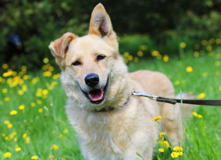 Portrait of ginger mixed breed dog in a collar with a leash in a city park on a sunny summer day against blurry background Reklamní fotografie