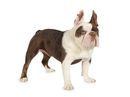 Cute purebred French Bulldog standing against a white background