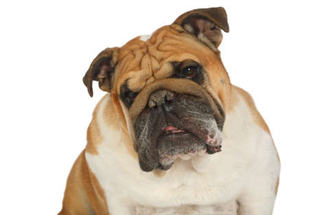 Close-up portrait of purebred English bulldog with its head tilted isolated on a white background