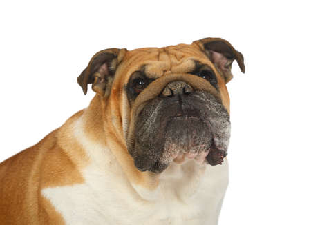 Close-up portrait of thoroughbred English bulldog isolated on a white background Foto de archivo
