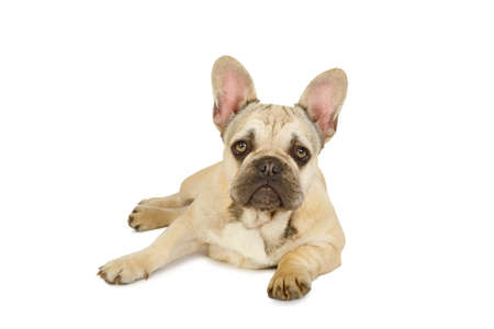 Cute six month old French bulldog puppy lying against a white background and looking at the camera