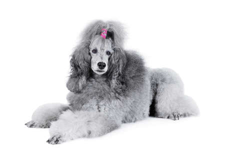 Gray standard poodle lying isolated on a white background