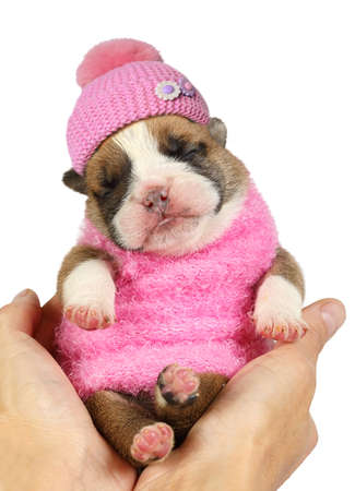 Small newborn English bulldog puppy in pink clothes and a cap sleeps on female hands isolated on a white background