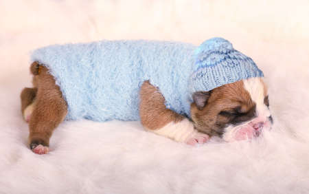 Cute newborn English bulldog puppy in blue clothes and a cap sleeping on a fur carpet Foto de archivo