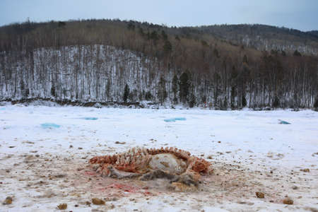 The remains of the Manchurian wapiti torn apart by wolves on the ice of the frozen Lake Baikal