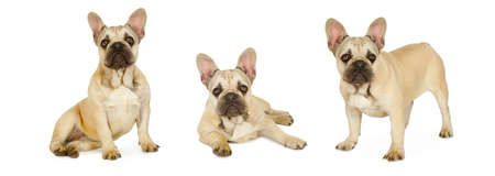 Collage set of three photos of six month old French bulldog puppy isolated on a white background Foto de archivo
