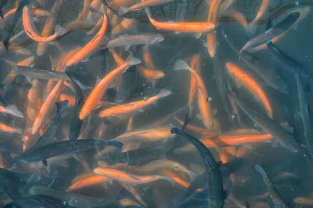 Golden and black trout in the fish farm splashing in the water, close-up
