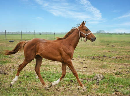 Thoroughbred mare galloping in the paddock of a rural farm on a sunny summer day Zdjęcie Seryjne