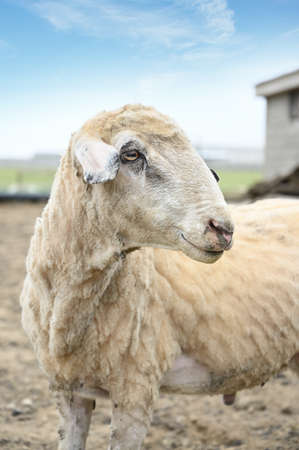 Portrait of a white trimmed goat on a rural farm