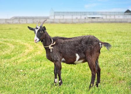 Black goat grazes on a green lawn on a rural farm on a sunny summer day Zdjęcie Seryjne