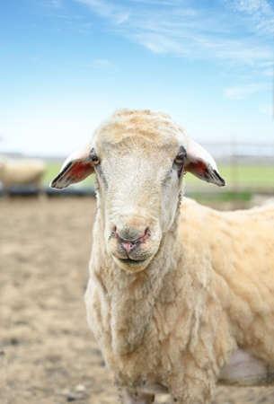 Portrait of a white goat on a rural farm