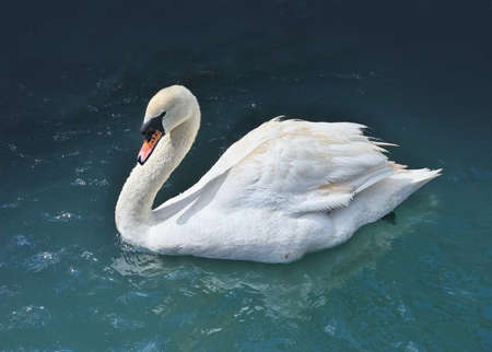One white swan swims in the lake water