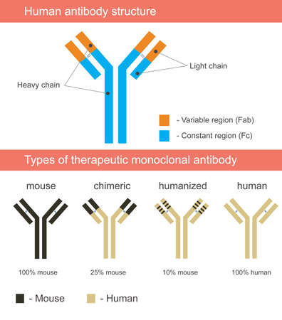 Human antibody structure illustration with four types of monoclonal antibodies: mouse, chimeric, humanized, human.