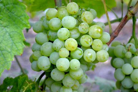 uvas vino: Uvas del vino blanco en la ma�ana soleada