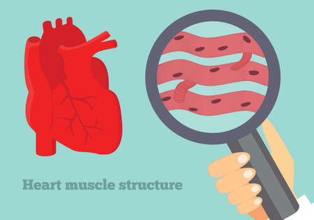 myocardium: Heart muscle structure illustration. Illustration of cardiac tissue