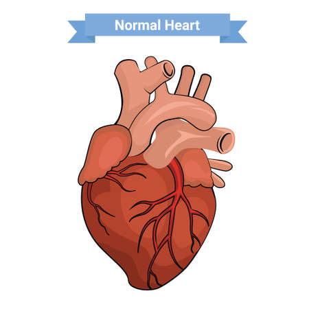 pulmonary trunk: Normal heart anatomy illustration.