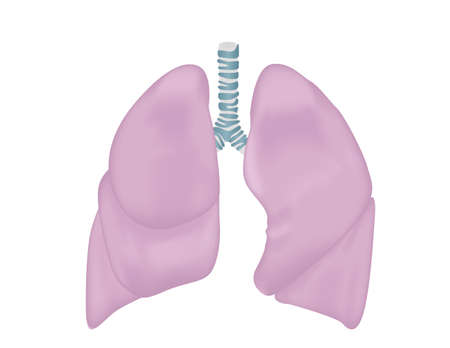 respiration: Lungs vector illustration. Respiratory system isolated on white. Illustration