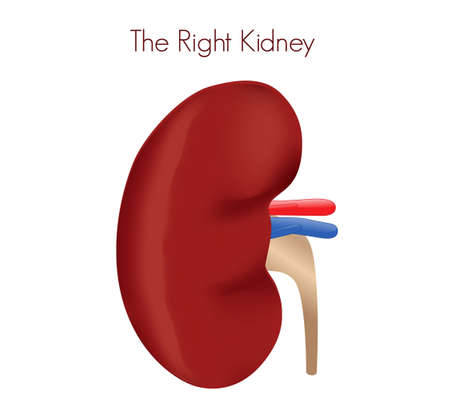 Right kidney transplant. Illustration of kidney, ureter and blood vessels anatomy