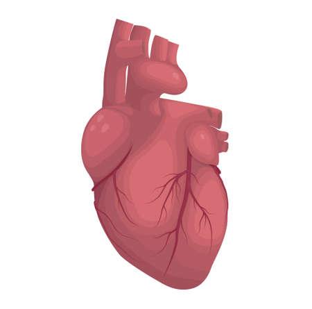 cor: Human heart vector illustration. Cardiac anatomy