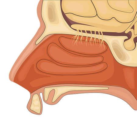 olfaction: Olfaction vector illustration. Normal anatomy of human olfactory organ