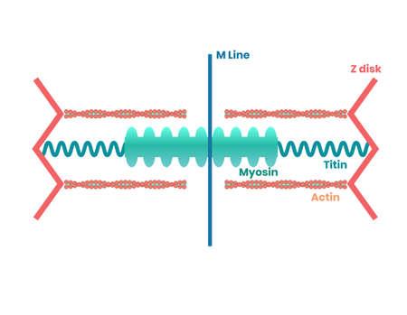 Myophilament structure illustration.
