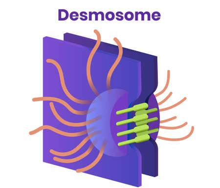 Desmosom Vektor. Illustration der engen Zellkreuzung Vektorgrafik