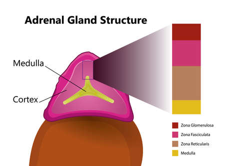 Adrenal gland structure. Illustration of the human iternal body organ
