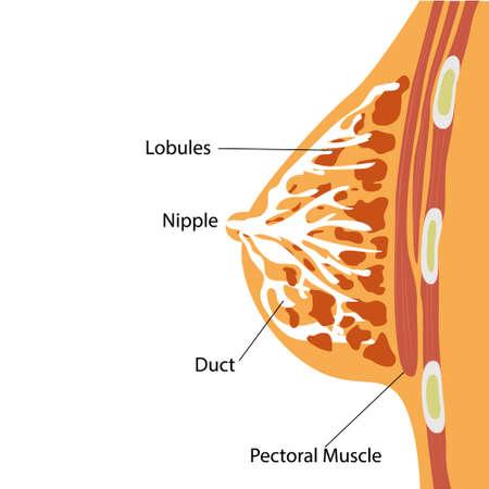 Breast Gland Anatomical Structure Vector Illustration Illustration