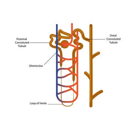 Ilustración de vector de la estructura de la nefrona. Clipart del glomérulo, cápsula y diferentes partes de la nefrona