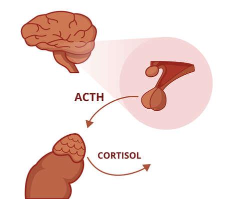 Glande pituitaire et surrénale. L'hormone adrénocorticotrope stimule la fonction de la glande surrénale