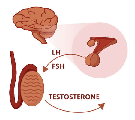 Gonadotropins functions. LH and FSH stuimulate testicles to produce testosterone Vettoriali