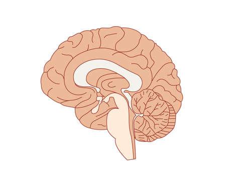 Brain anatomy vector illustration Ilustracja