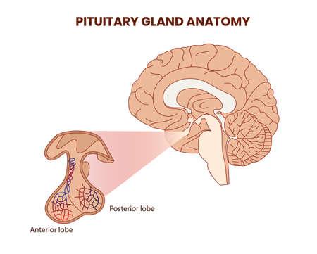 Illustration de l'anatomie de l'hypophyse. Vecteur d'hypophyse Vecteurs