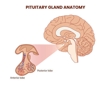 Pitutary gland anatomy illustration. Hypophysis vector
