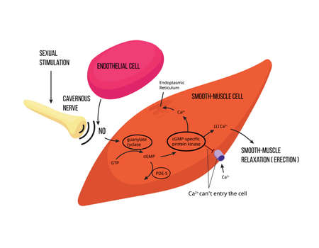 Mechanism of male erection. Male erectile function mechanism with enzematic reactions illustrated