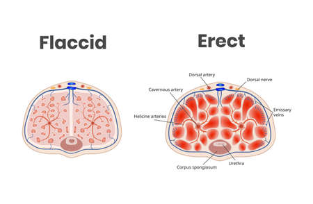 Flaccid and erect penis anatomy. The role of the blood flow in the erection Ilustración de vector