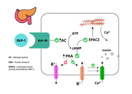 GLP-1 mechanism of action. Glucagon-like peptide in pancreatic cell. GLP-1R mediated insulin release